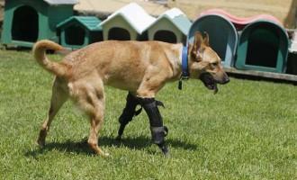 La història de Pay de Limón, el gos rescatat d'una banda criminal