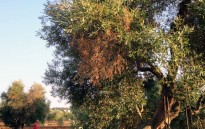 Agricultura demana extremar la precaució davant la nova plaga que afecta les oliveres del sud d'Itàlia