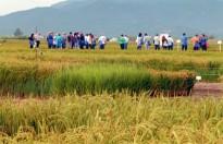 L'IRTA Amposta acull este dijous una jornada de camp de l'arròs