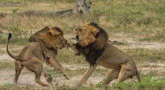 Vés a: Uns caçadors furtius maten a trets Jericó, germà de Cecil i nou cap de la manada