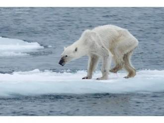 La impactant imatge d'un ós polar desnodrit per conscienciar sobre el canvi climàtic
