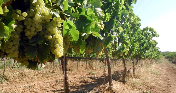 Els viticultors de la Terra Alta preveuen una verema excel·lent