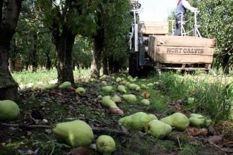 Vés a: El vent fa caure el 30% de peres i pomes del Pla d'Urgell