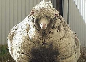 Trobada a Austràlia una ovella amb 42 quilos de llana
