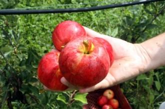 Vés a: La collita de poma eco de muntanya al Solsonès preveu arribar a les 100 tones