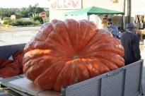 Una carabassa de 335 quilos guanya el concurs de Sedó