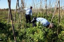 Els Mossos cremen marihuana valorada en 250.000 euros que estava amagada entre tomaqueres
