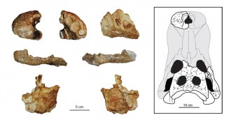Vés a: Descobreixen una nova espècie de cocodril del Cretaci al Pallars Jussà