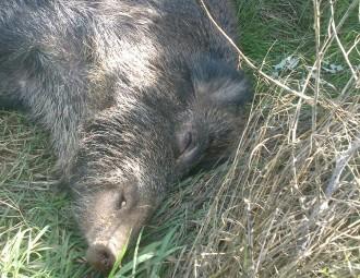 Un tren atropella un porc senglar a Rajadell