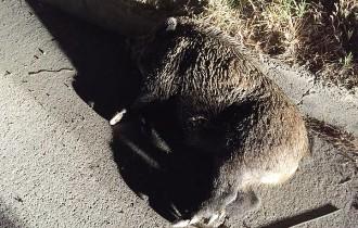 Un veí de Sant Pere de Torelló pateix una forta topada amb un porc senglar
