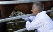 Un ramader del Sobirà, el primer de Catalunya en comercialitzar llet d'euga