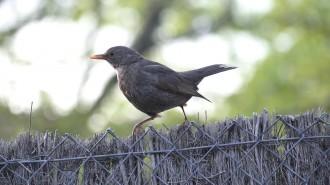 Vés a: Cantar més agut no garanteix l'èxit dels ocells a la ciutat