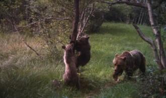 Esmolet i Boet, els noms escollits per als cadells d'ós bru