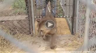 L'emocionant moment en què un puma és alliberat després d'estar encadenat 20 anys