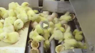 Una ONG mosta en un vídeo el maltractament de pollets en la indústria càrnia