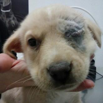 Un cadell de gos perd un ull després que l'hagin tirat pel damunt d'un reixat d'un jardí a Balaguer
