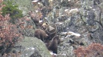 Vés a: La mort de Balou fa perillar la població d'óssos al Pirineu