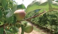 El canvi climàtic posa en risc el conreu de la poma de Girona