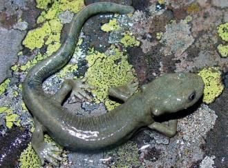 La població de tritó del Montseny, en perill d'extinció, es dobla en deu anys