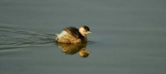 El Cens d'ocells aquàtics al Solsonès constata que no ha fet prou fred a Europa