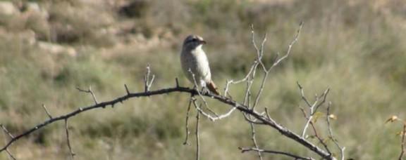 Trobat a Solsona i per primera vegada a Catalunya un ocell molt rar al sud d'Europa: el Capsigrany  pàl·lid (Lanius isabellinus)