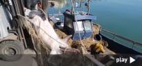 Troben un tauró de quatre metres a prop de la costa tarragonina