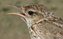 Vés a: Els temporals d'enguany han afectat la nidificació de la gavina corsa