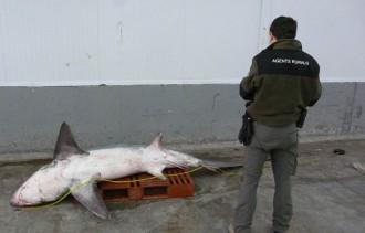 Vés a: Una barca de pesca captura un tauró de 250 quilos a Tarragona
