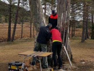 Reforcen el Pi de les Tres Branques per evitar que el tronc serrat es trenqui