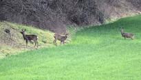 Vés a: Unió de Pagesos rebutja catalogar el llop com a espècie protegida a tot l'Estat