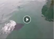 VÍDEO La tonyina del port de l'Escala s'empassa una gavina