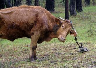 Vés a: El Santuari Gaia de Camprodon acollirà sis vaques maltractades