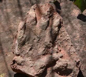 Vés a: Troben a Olesa de Montserrat una petjada fossilitzada de rèptil de 230 milions d'anys d'antiguitat