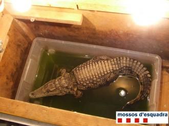 Denuncien un circ al Gironès per tenir un cocodril en pèssimes condicions