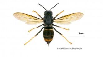 Vés a: La invasió de la vespa asiàtica