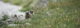 Vés a: Les femelles de marmota són infidels amb altres mascles