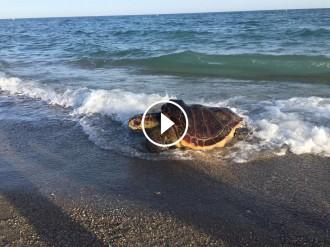 Vés a: Rescaten una tortuga marina a la platja de Castelldefels