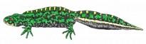 Vés a: Alliberen 18 tritons verds al Parc de la Serralada Litoral