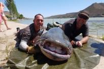 Vés a: Pesquen un dels silurs més grans de l'Estat a Mequinensa