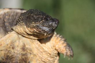 Vés a: Capturen una tortuga mossegadora amb aspecte de cocodril a l'Estany de Banyoles