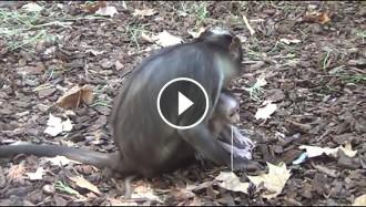Vés a: Neix al Zoo de Barcelona una cria de mico en perill d'extinció