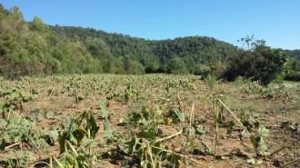 Vés a: Unió de Pagesos reclama mesures contra la plaga de senglars al Gironès