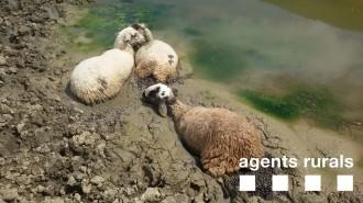 Rescaten quatre ovelles atrapades en el fang en una bassa al Pallars Jussà