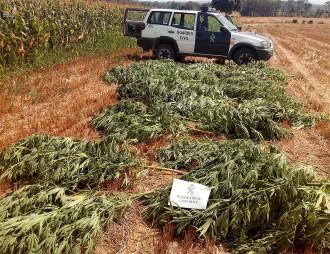 Vés a: La Guàrdia Civil descobreix 350 plantes de marihuana ocultes en camps de blat de moro al Baix Empordà