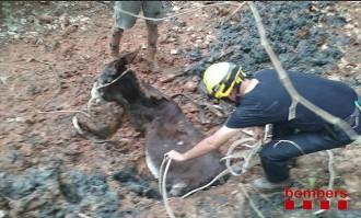 Vés a: Els Bombers rescaten un ase atrapat al fang en una riera de l'Anoia