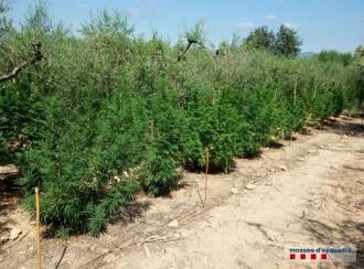 Vés a: Localitzades 175 plantes de marihuana al mig d'un camp d'oliveres de l'Alt Camp