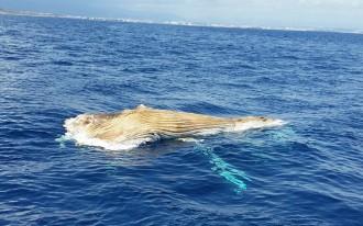Vés a: Apareix una balena morta flotant a unes tres milles del cap de Salou