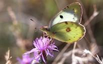El 70% de les papallones mediterrànies estan en declivi