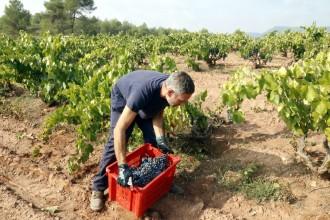 La producció de vi a la DO Pla de Bages serà un 20% inferior a causa de la sequera