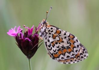 Vés a: El 70% de les papallones mediterrànies estan en declivi